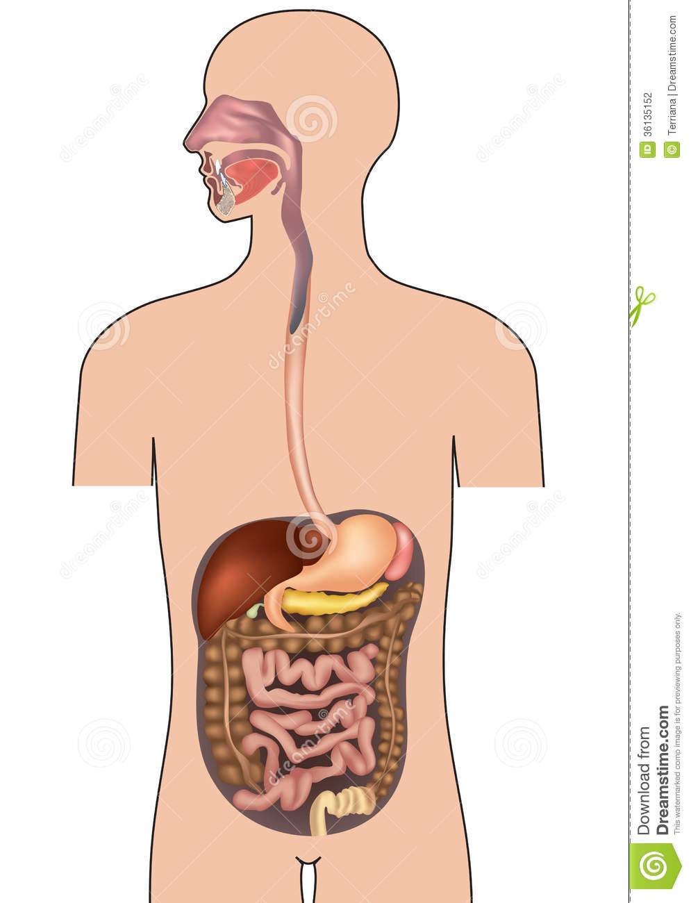 Human Digestive System. Human Body Anatomy. Stock Illustration ...
