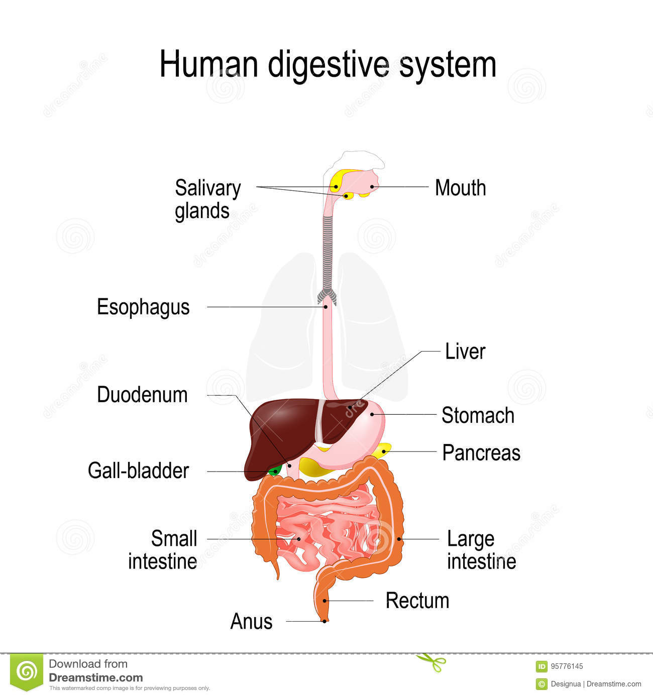 Human Digestive System Stock Vector Illustration Of Duodenum 95776145