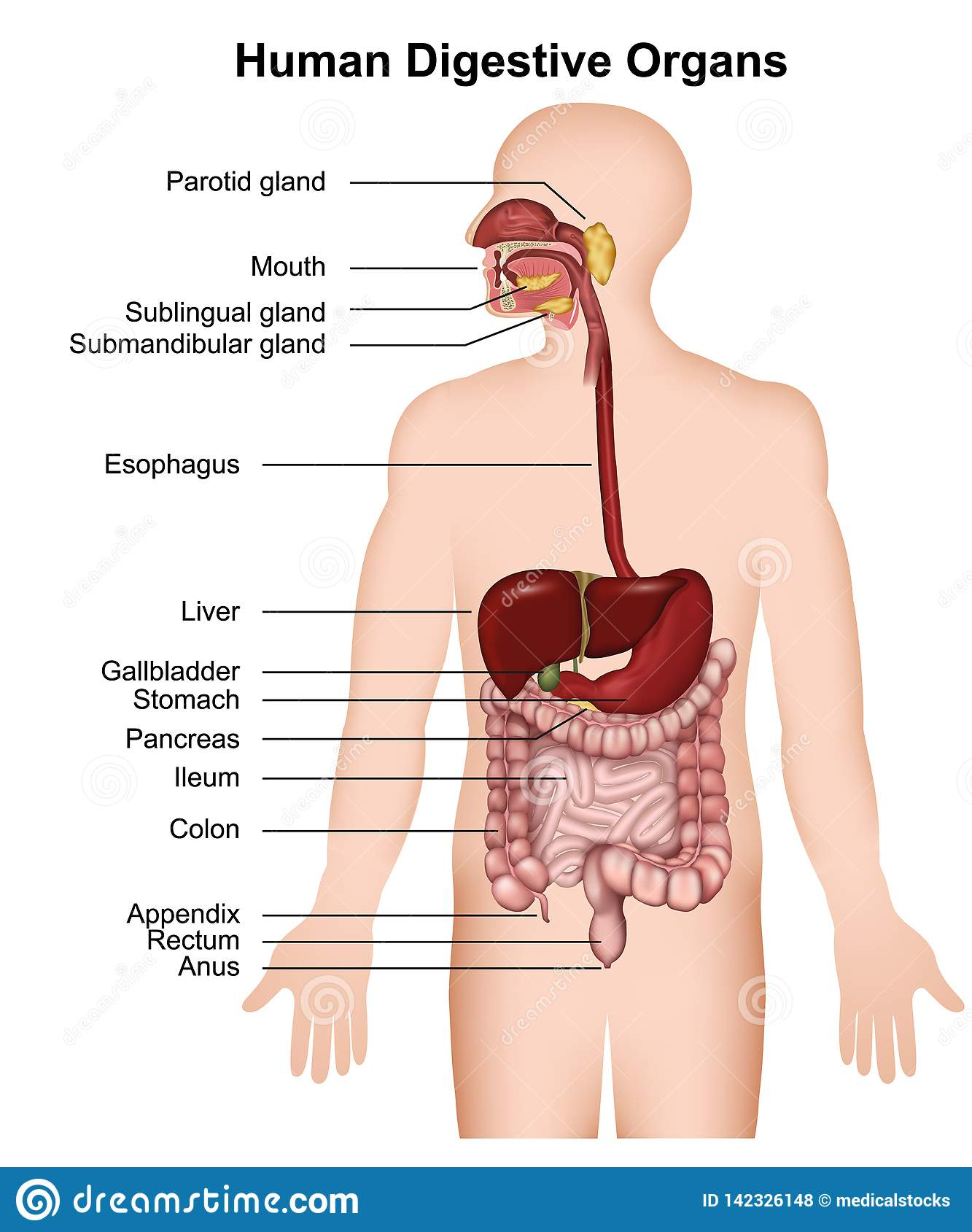 The human digestive system ,medical  illustration on white background