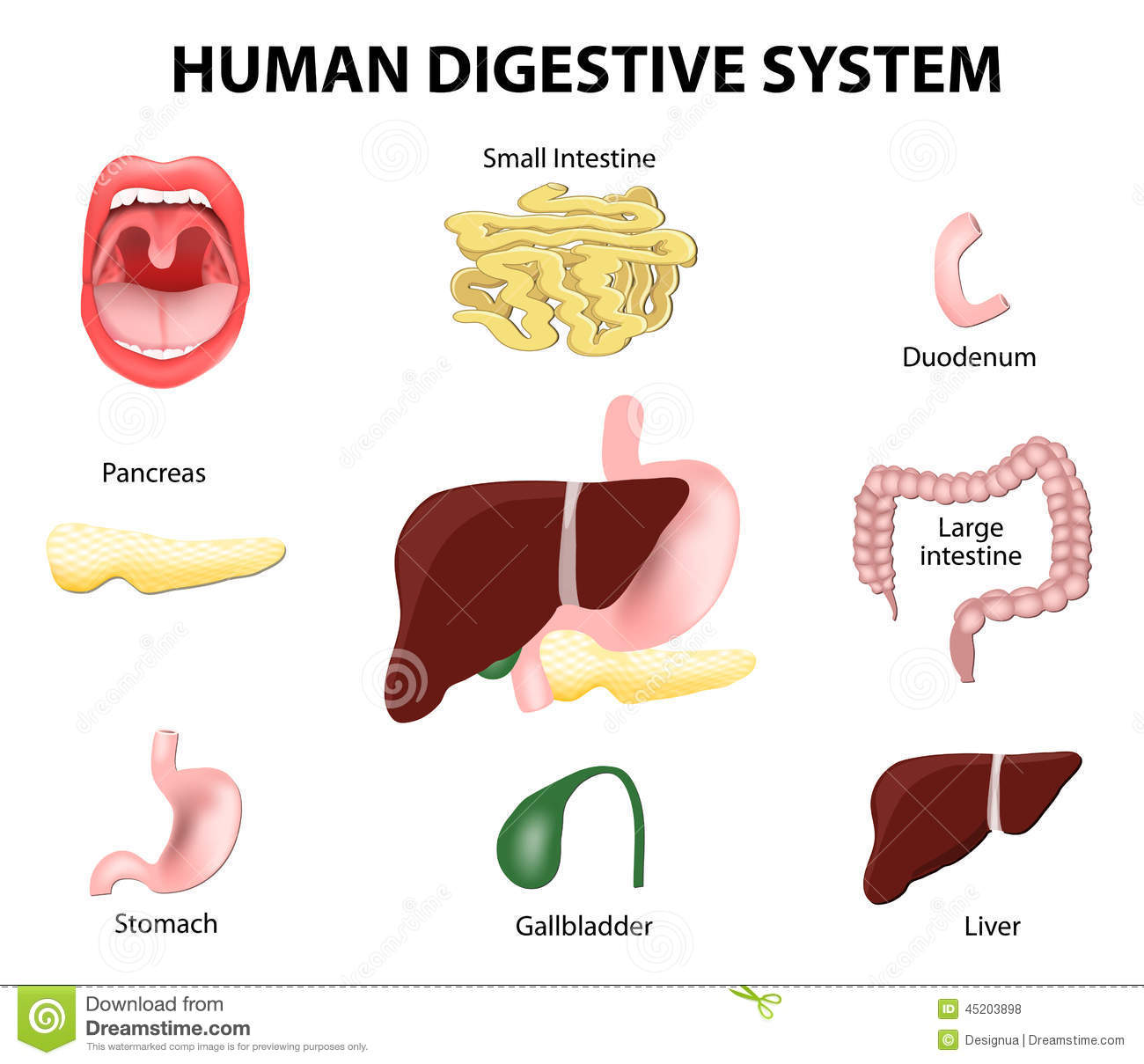 Human Digestive System. Set Stock Vector - Illustration of eating ...