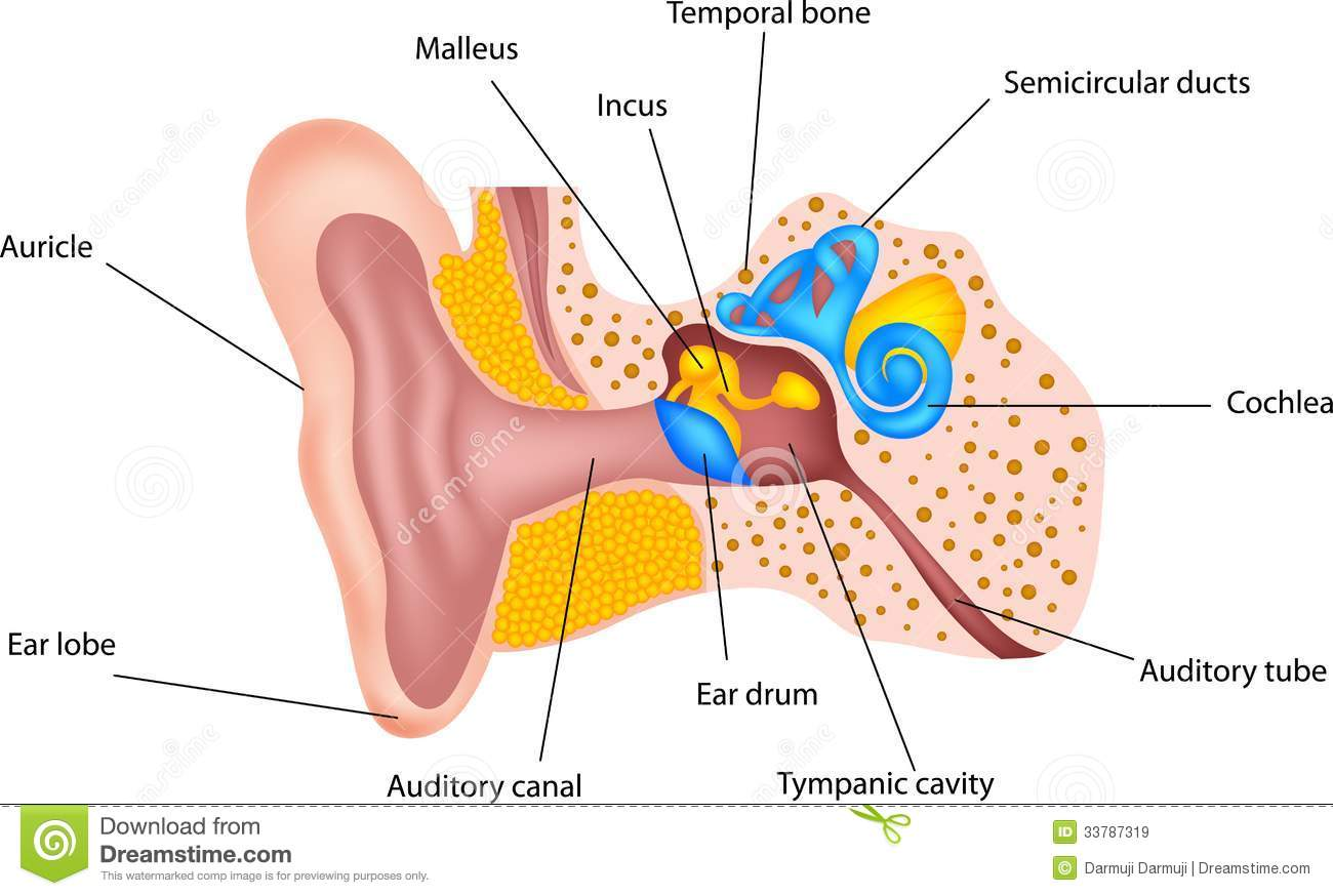 Human ear anatomy stock vector. Illustration of acoustic - 33787319