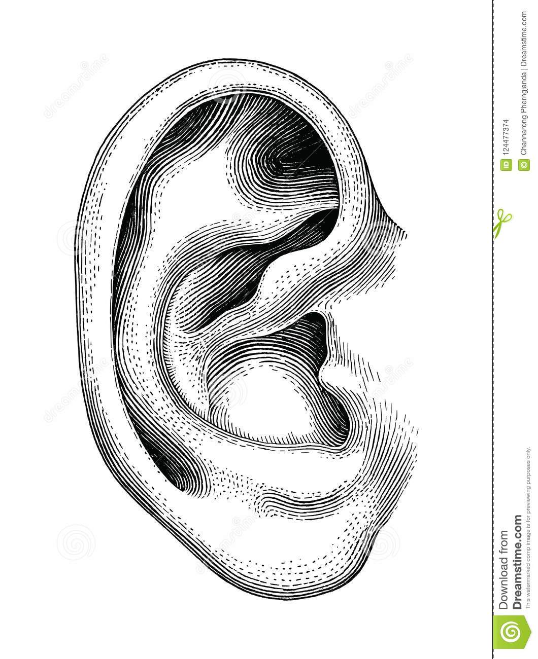 human ear hand draw vintage clip art isolated on white backgroun