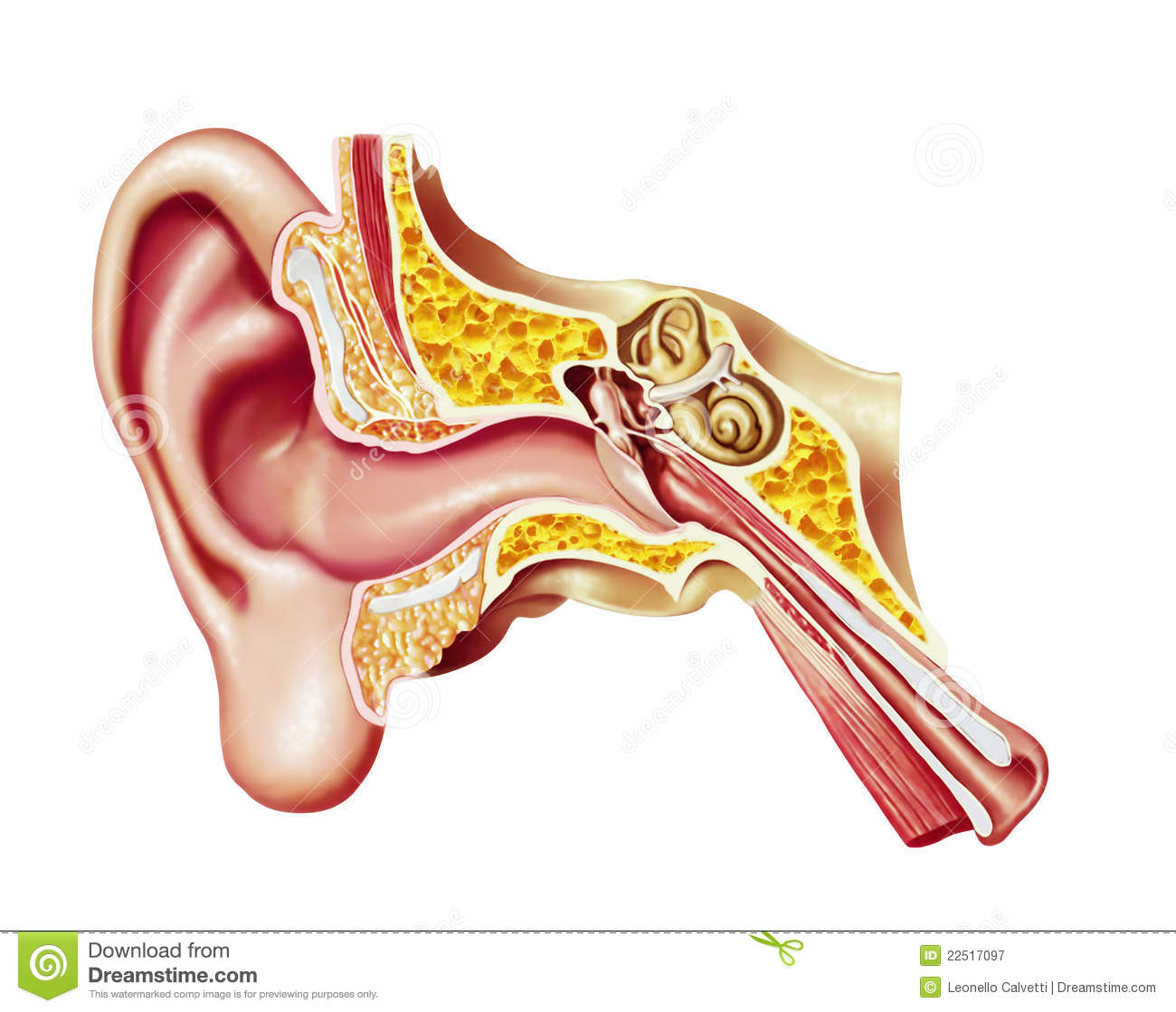 human ear  realistic cutaway diagram  royalty free stock photography