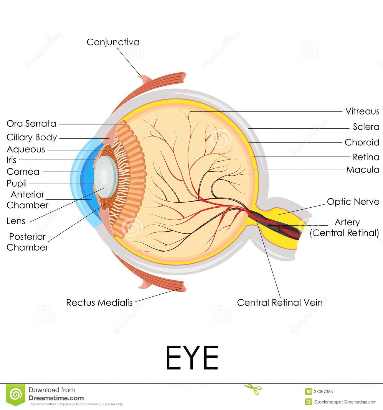 Human Eye Anatomy stock vector. Illustration of ocular - 38067385