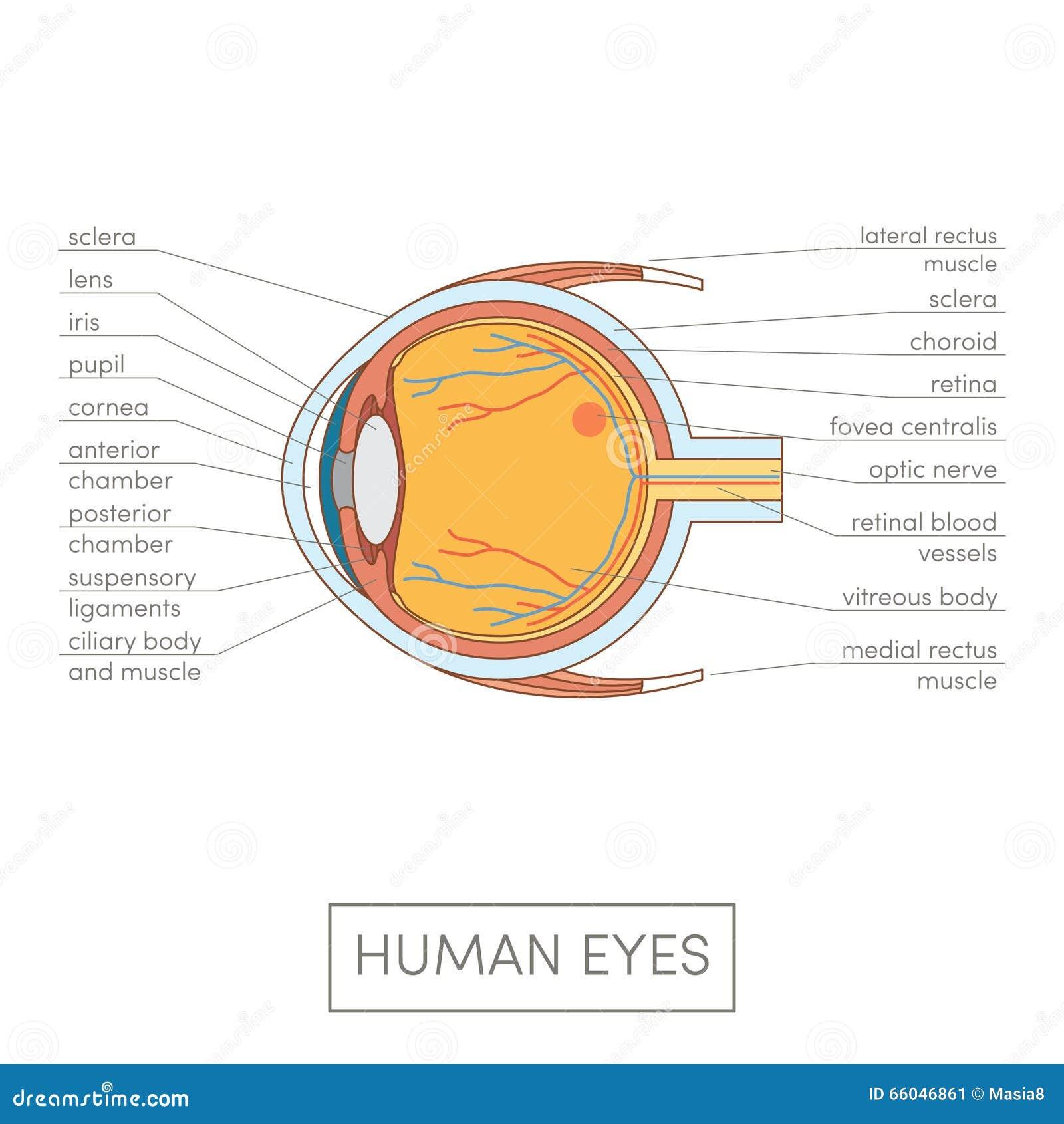 Human eye anatomy stock illustration. Illustration of anterior ...