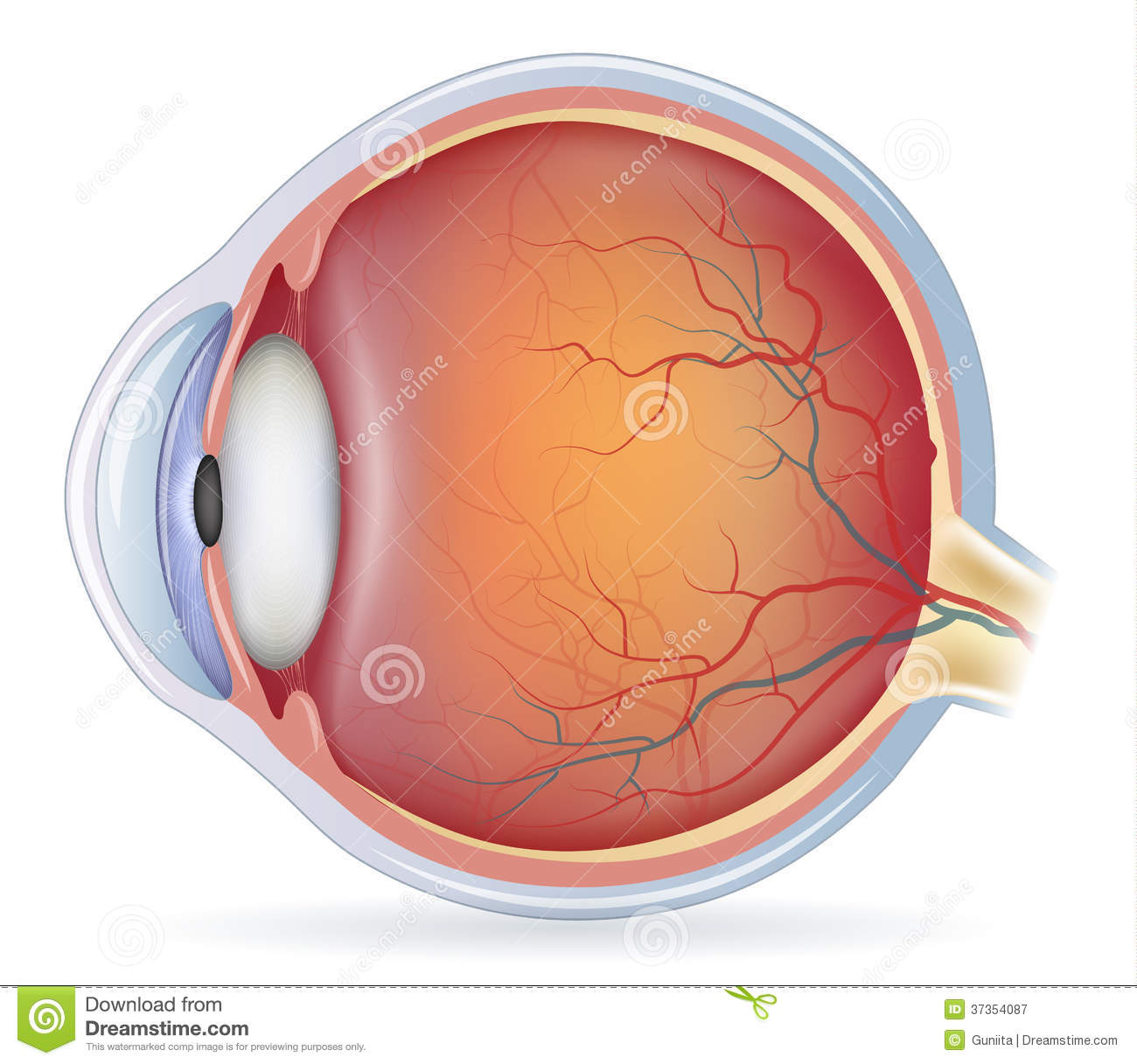 Human eye anatomy stock vector. Illustration of diagram - 37354087