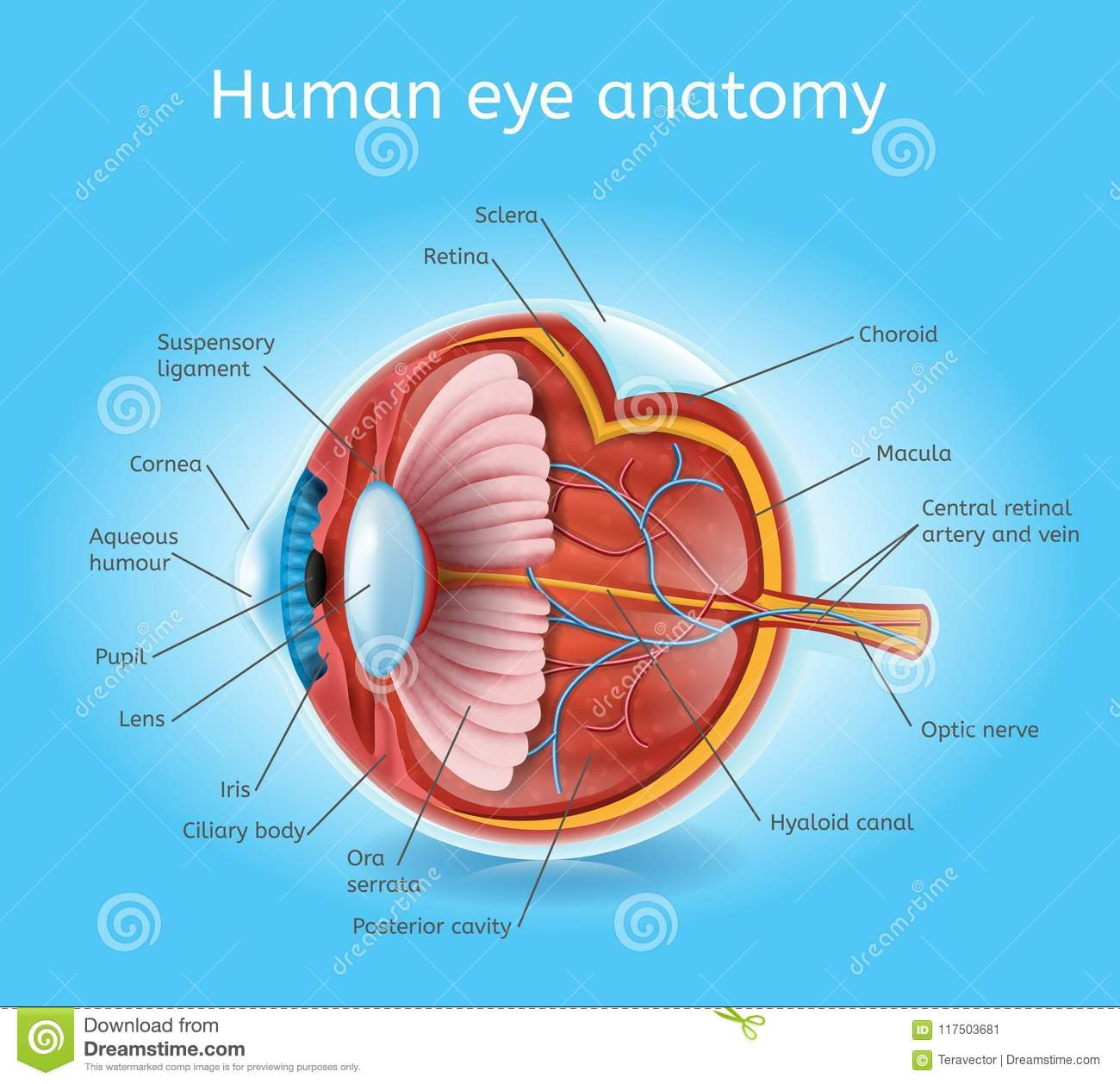 Enchanting Gross Anatomy Of Eye Gift - Anatomy and Physiology Tissue ...
