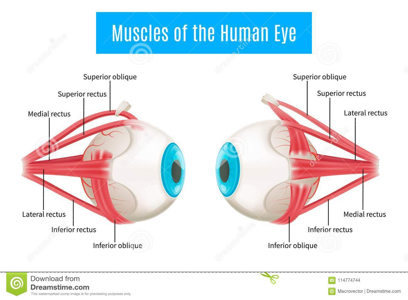 Human Eye Anatomy Diagram stock vector. Illustration of diagnose ...