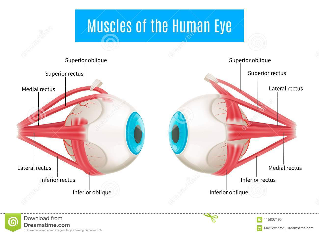 Human Eye Anatomy Diagram Stock Vector Illustration Of Creative