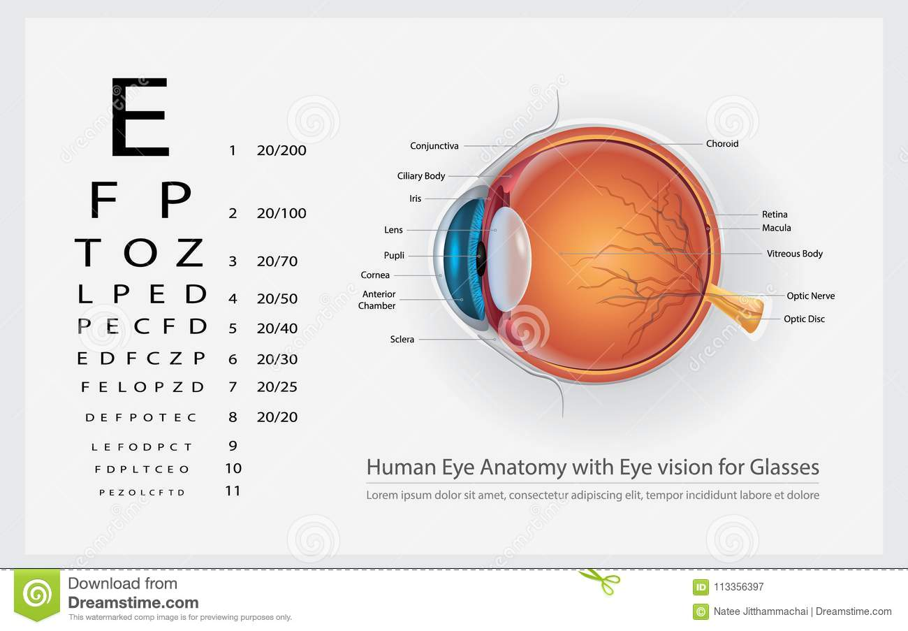 Human Eye Anatomy With Eye Vision For Glasses Stock Vector ...