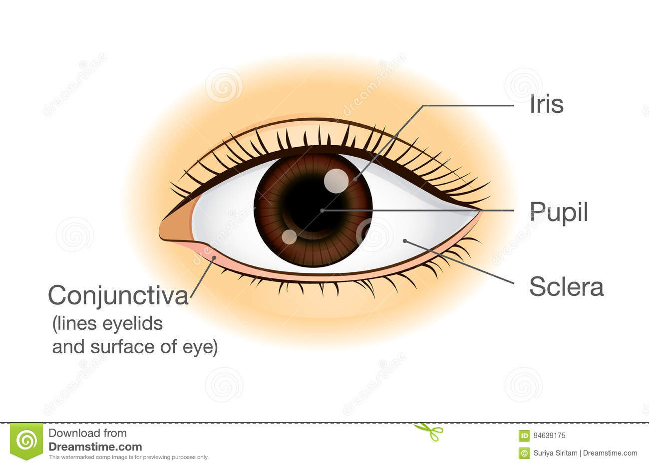 Human Eye Anatomy In Front View Stock Vector Illustration Of Care