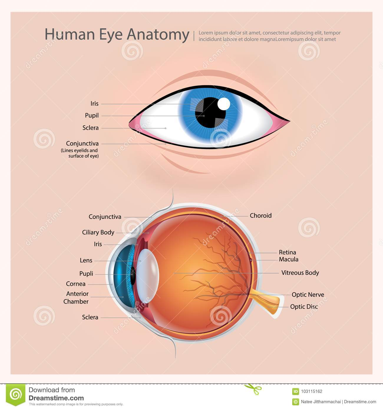 Human Eye Anatomy stock vector. Illustration of anterior - 103115162