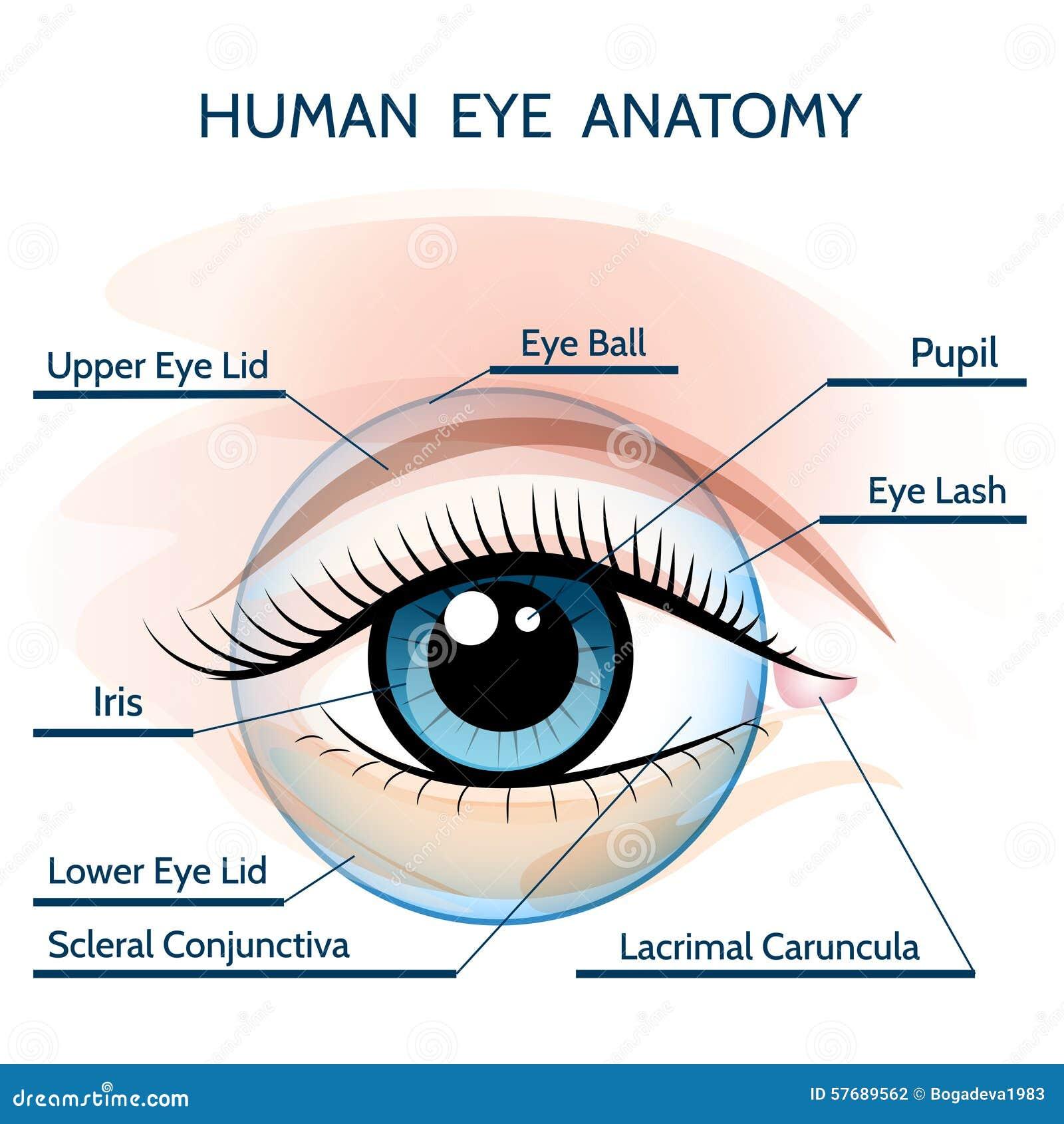 Human Eye Anatomy Stock Vector Illustration Of Ophthalmology 57689562