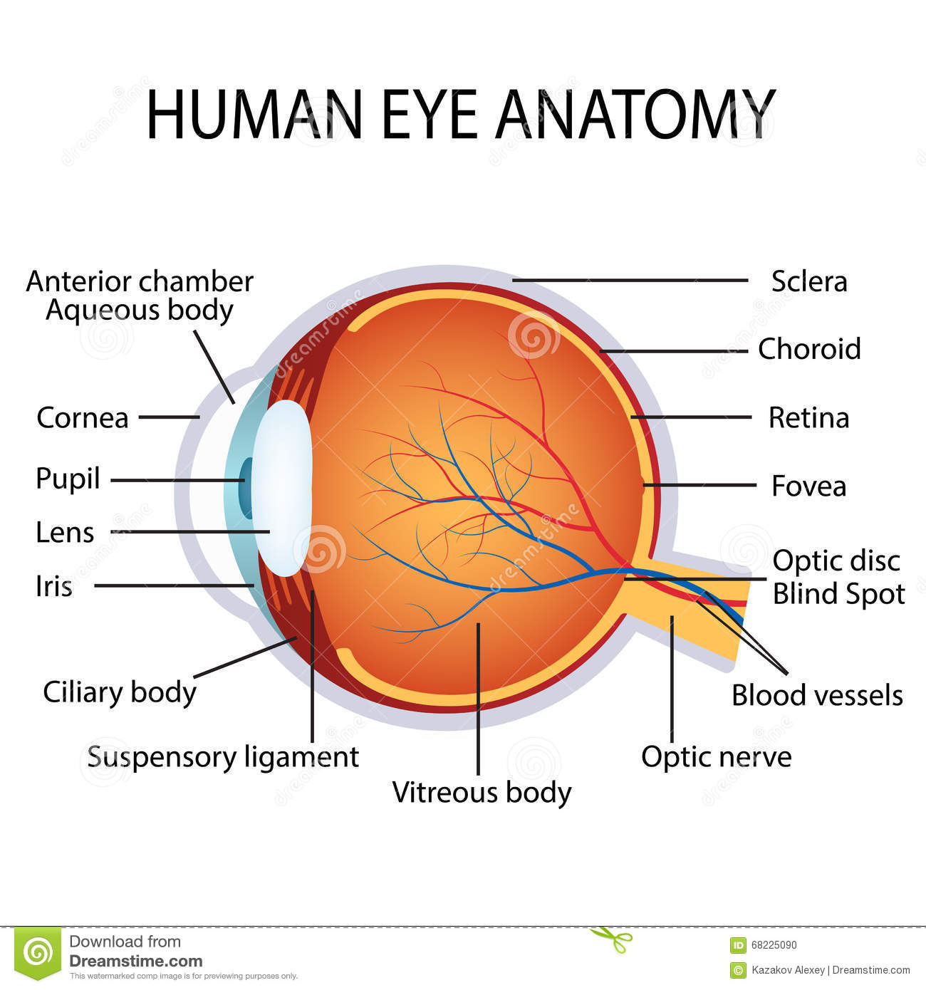 Human eye anatomy stock vector. Illustration of eyesight - 68225090
