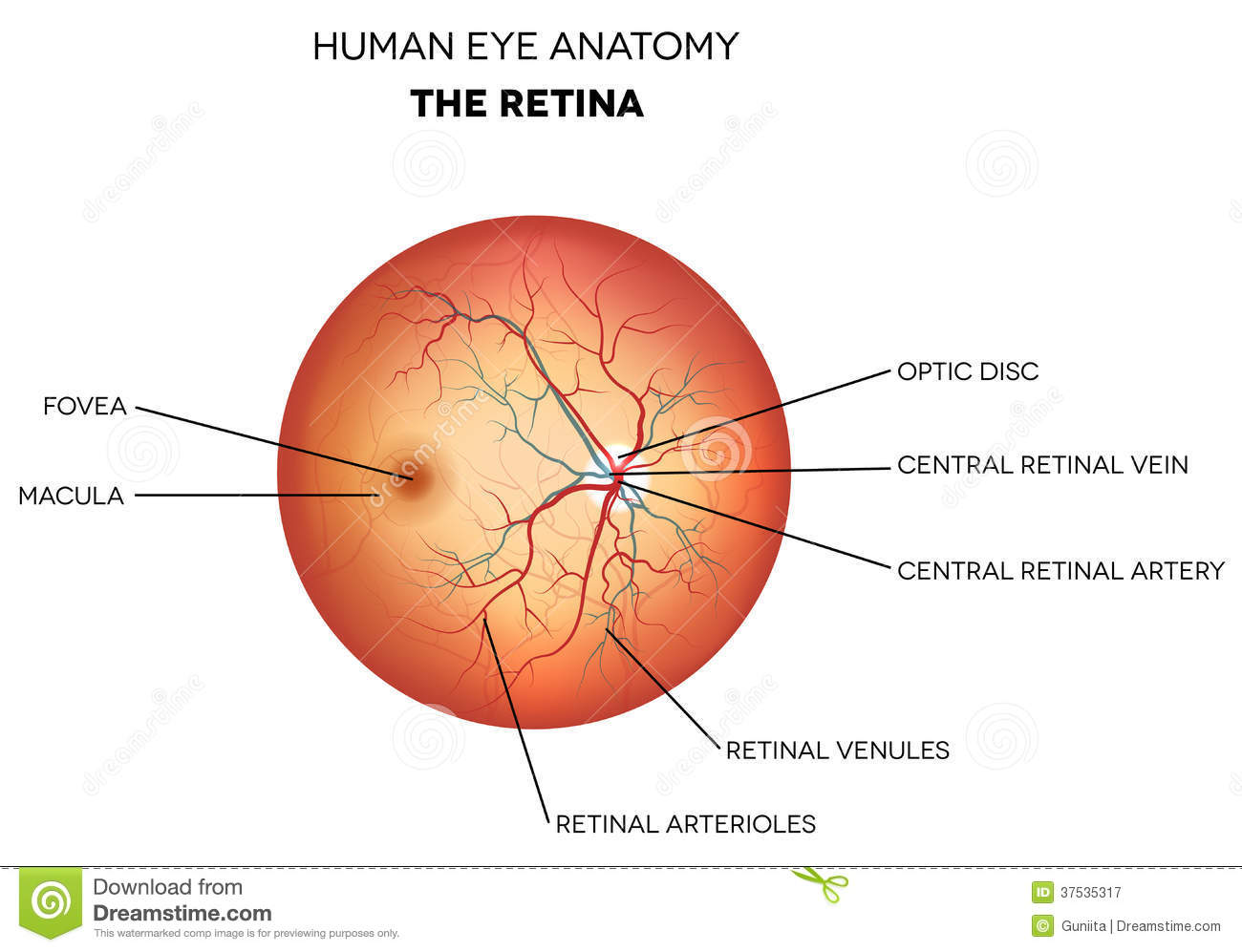 Human eye anatomy, retina stock vector. Illustration of eyes - 37535317