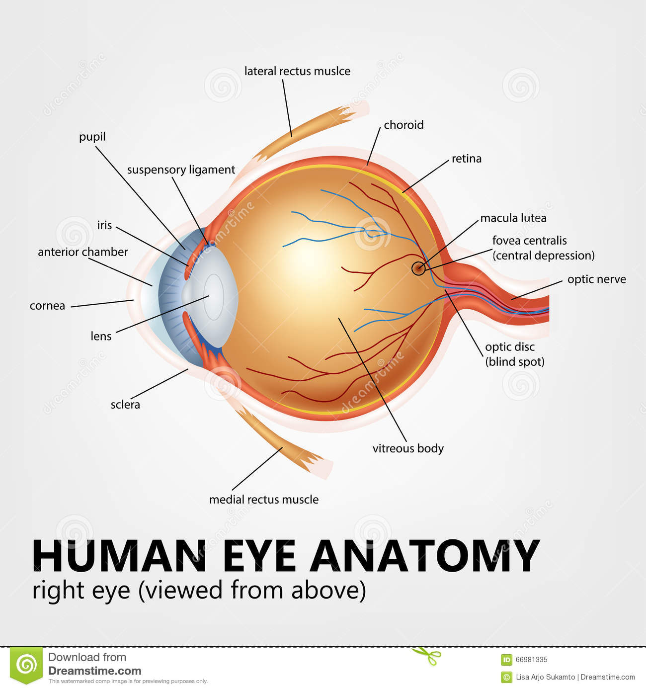 Human Eye Anatomy, Right Eye Viewed From Above Stock Vector ...