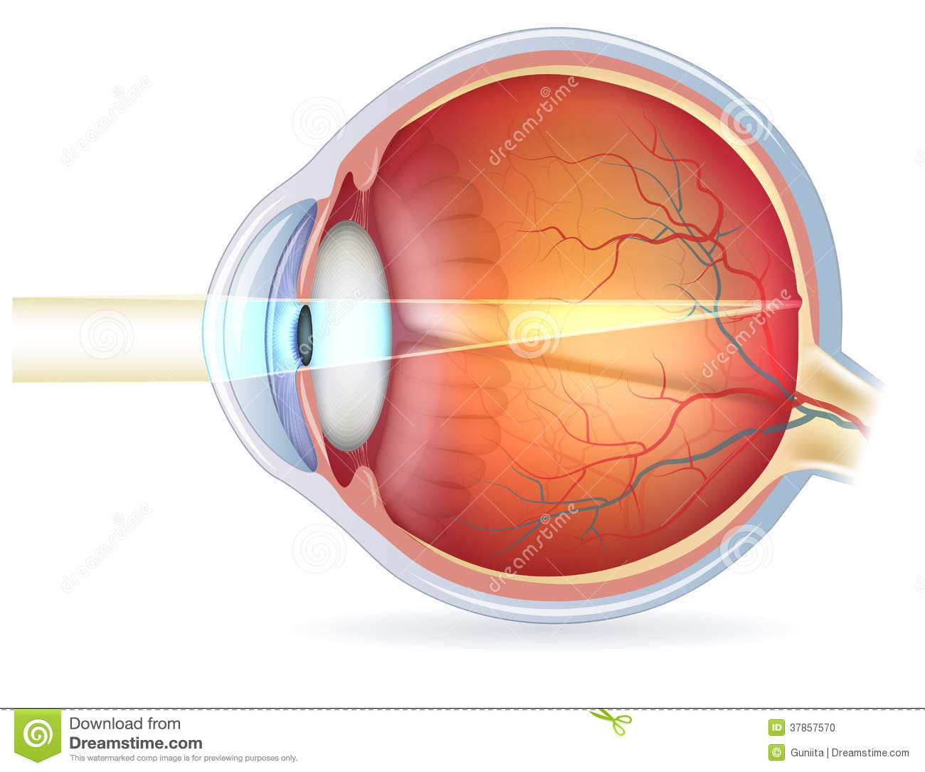 Human Eye Cross Section Normal Vision Stock Vector