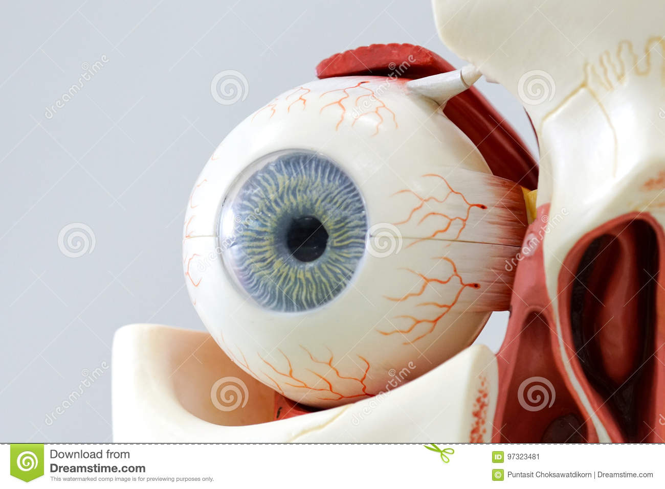 Human eye model stock image. Image of human, people, optical - 97323481