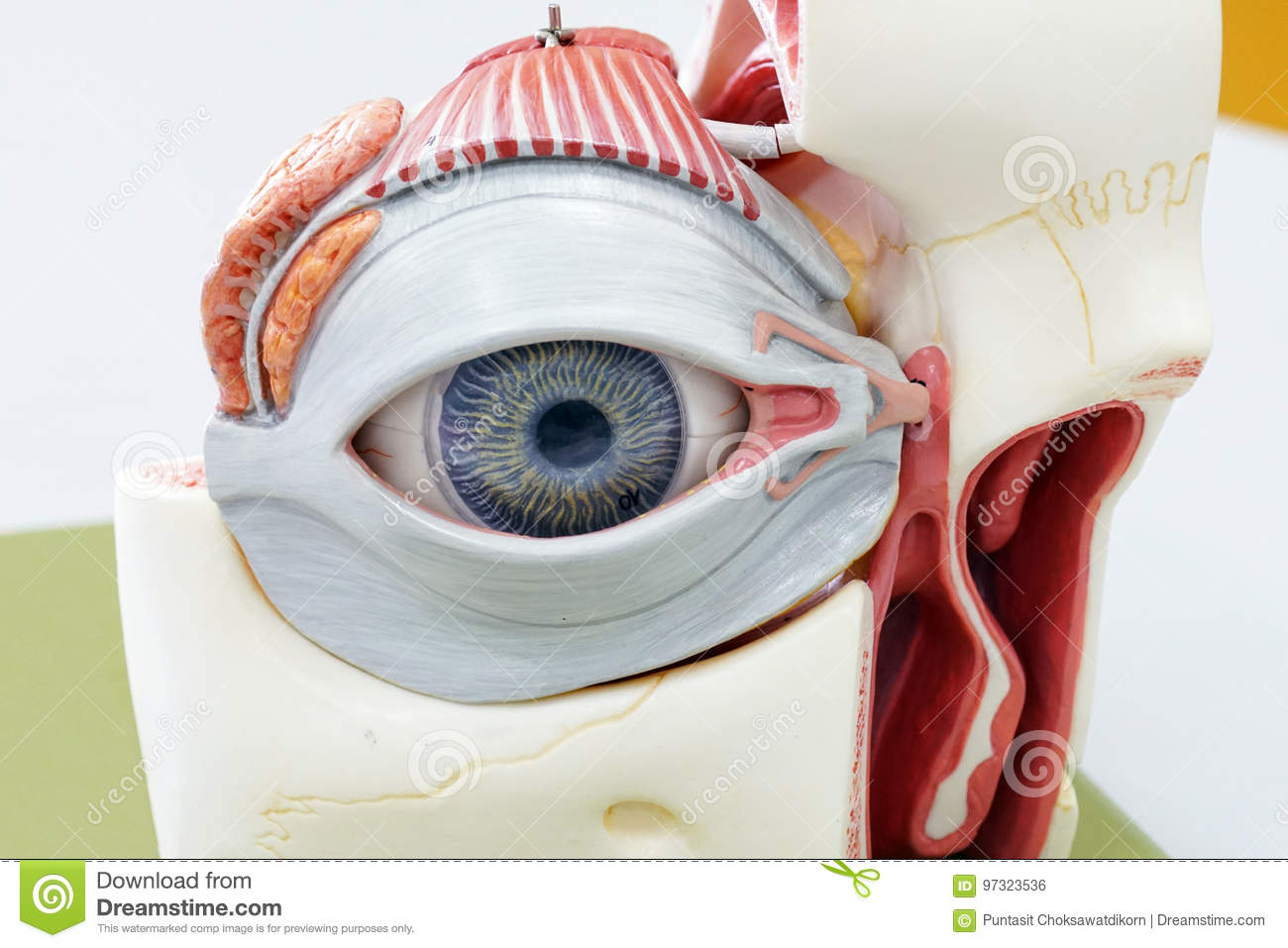 Human eye model stock photo. Image of head, medicine - 97323536