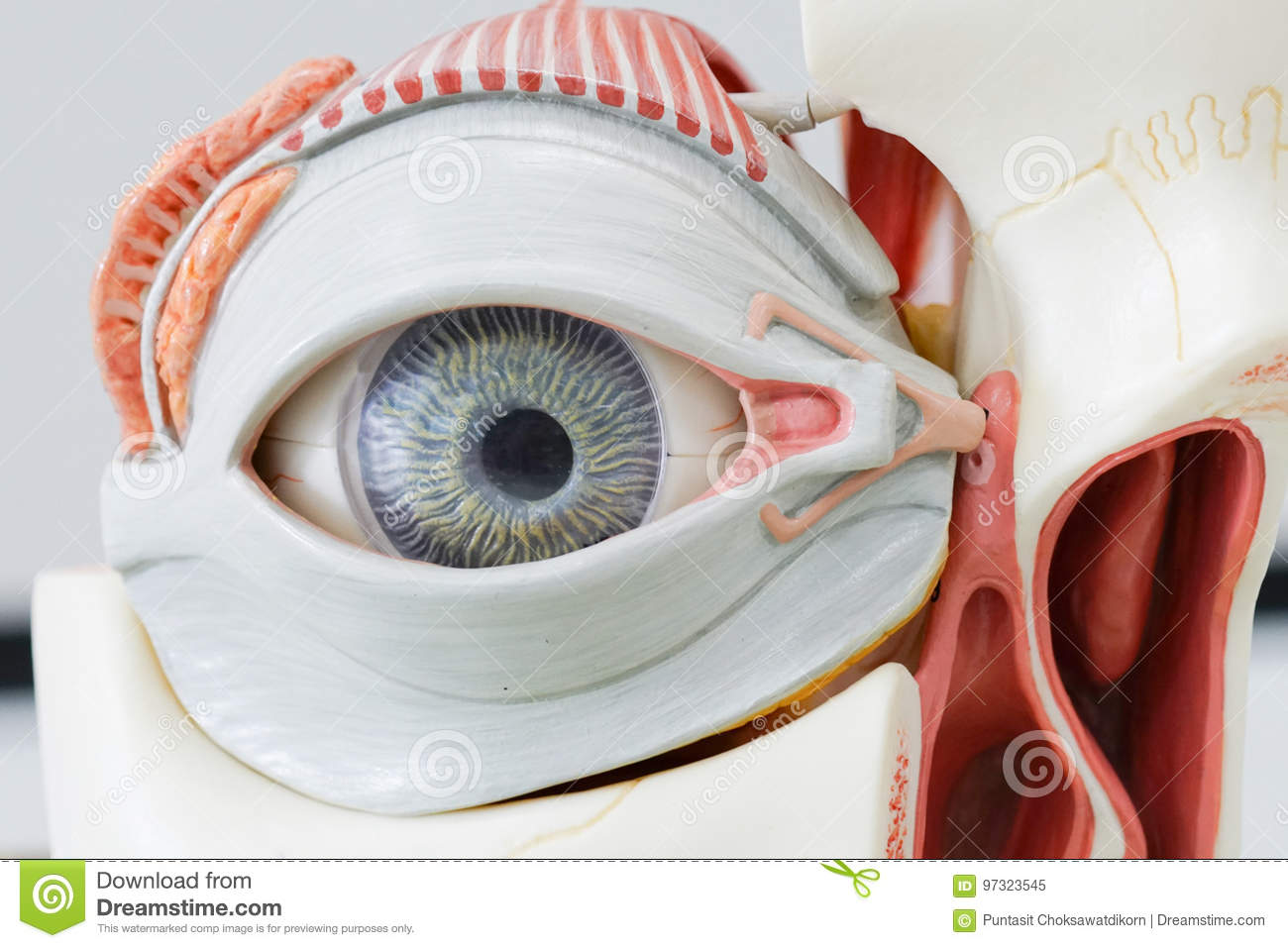 Human eye model stock image. Image of iris, healthy, body - 97323545