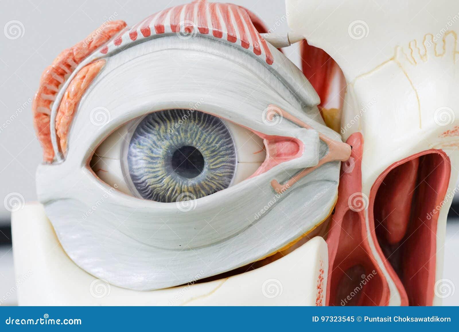 Human Eye Model Stock Image Image Of Iris Healthy Body 97323545