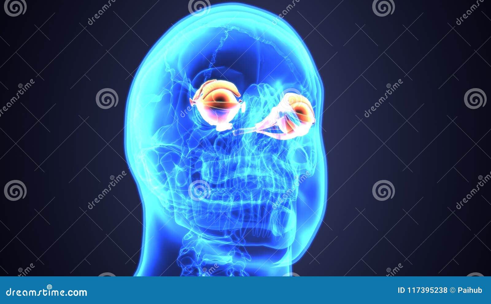 3d Illustration Of Human Body Eye Anatomy Stock Illustration