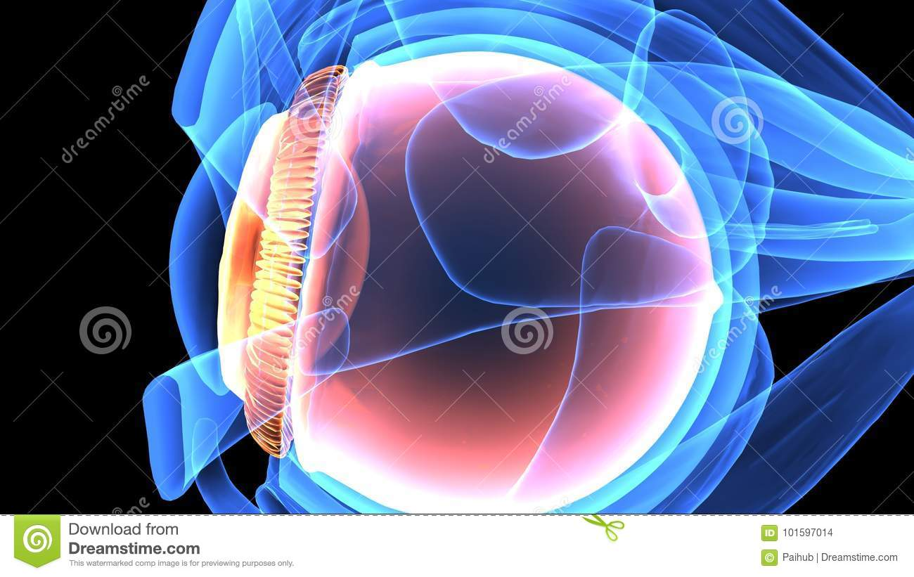 3d Illustration Of Human Body Eye Anatomy Stock Illustration