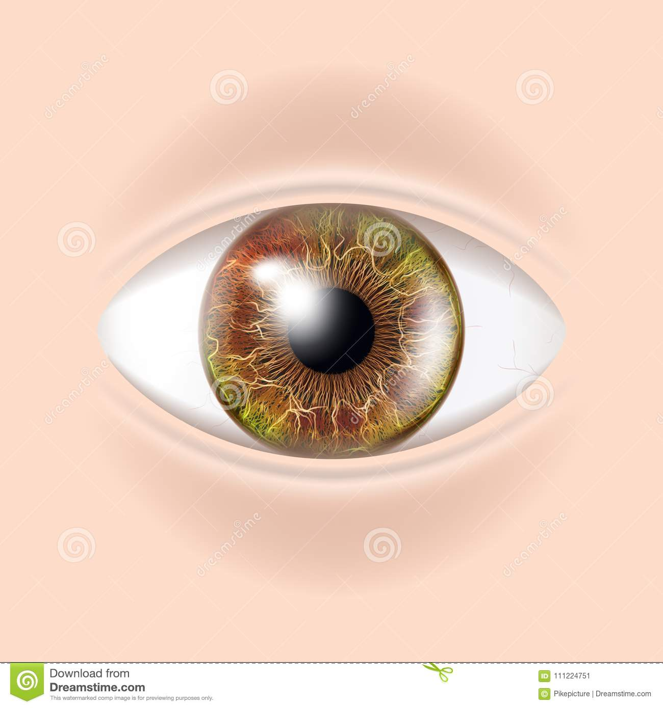 Human Eye Vector. Visual Examination. Body Check. Realistic Anatomy ...