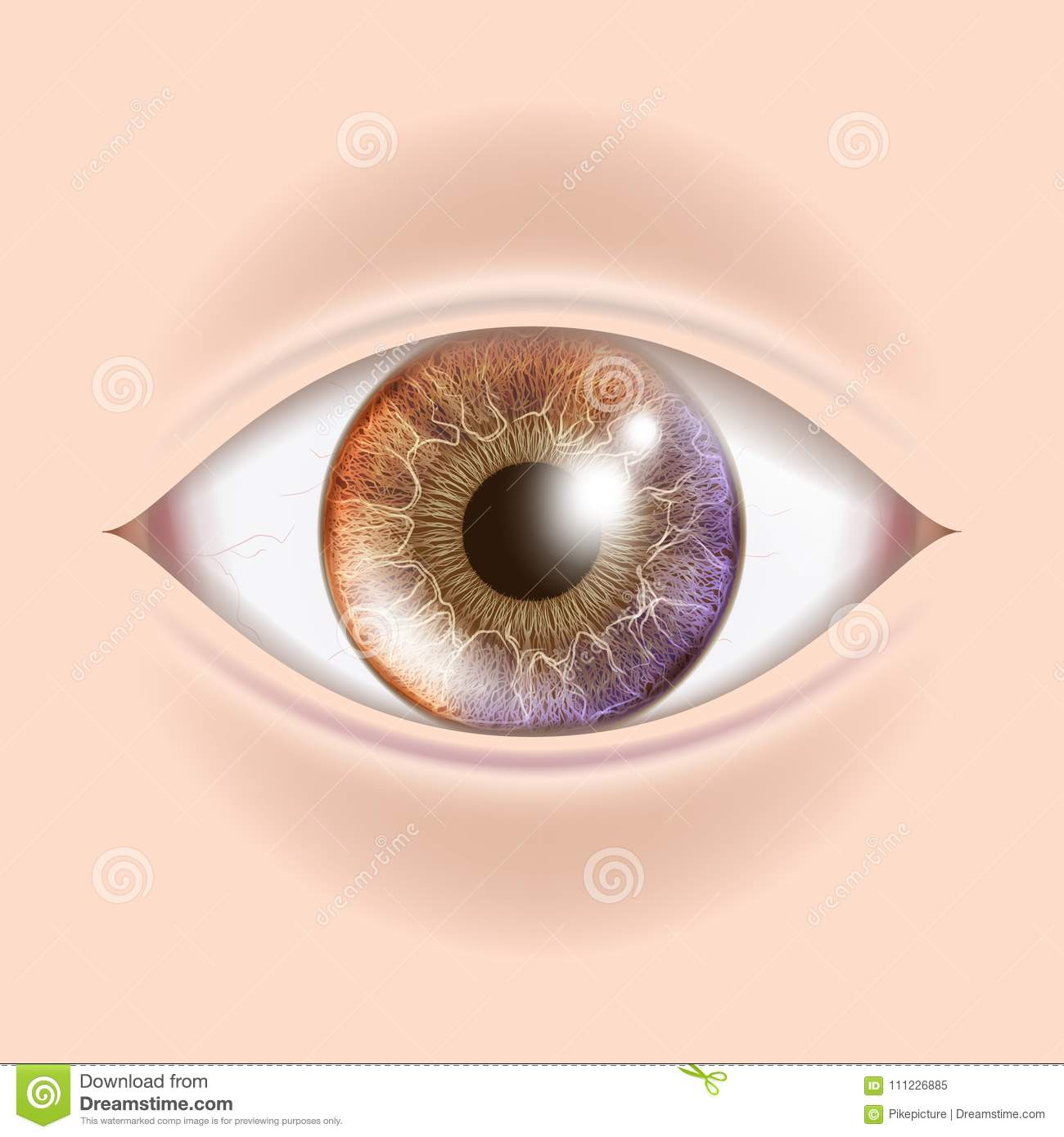 Human Eye Vector. Optometrist Check. Organ Test. Realistic Anatomy ...