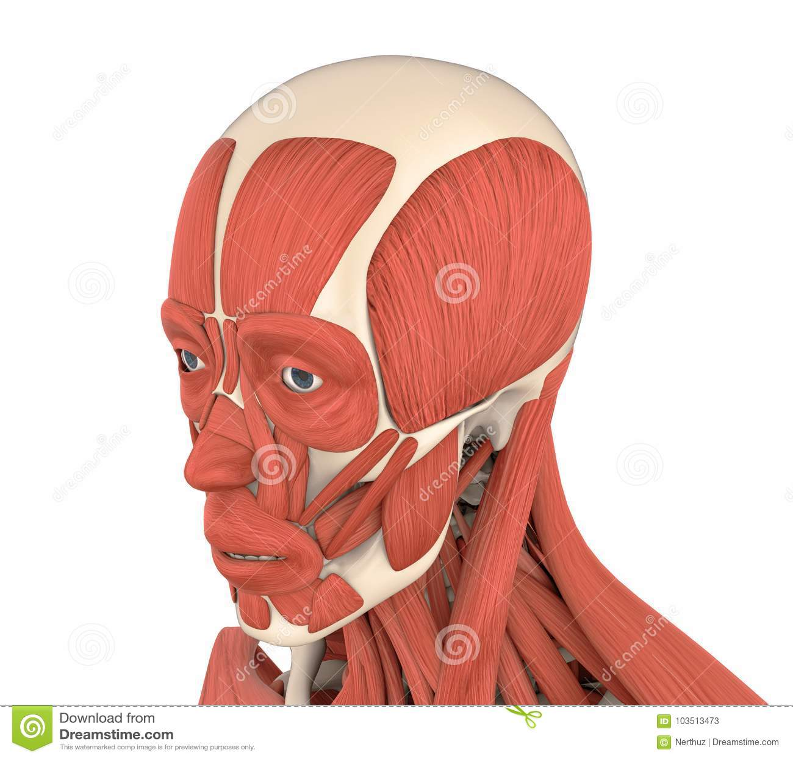 Human Facial Muscles Anatomy Stock Illustration Illustration Of