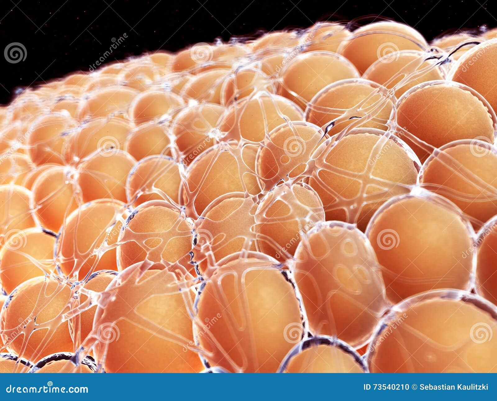 Human Fat Cells 18