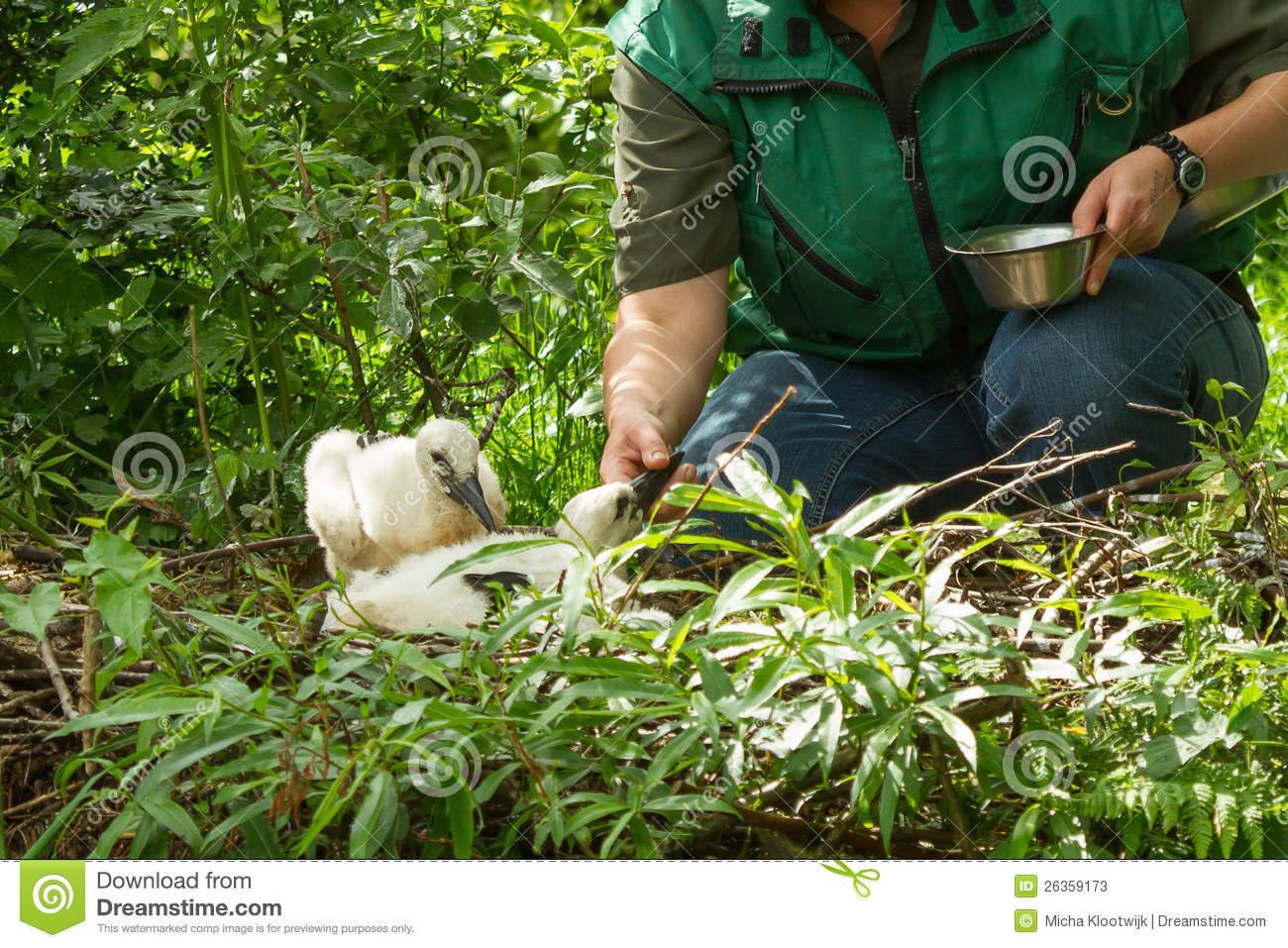 Human feeding two young stork chicks