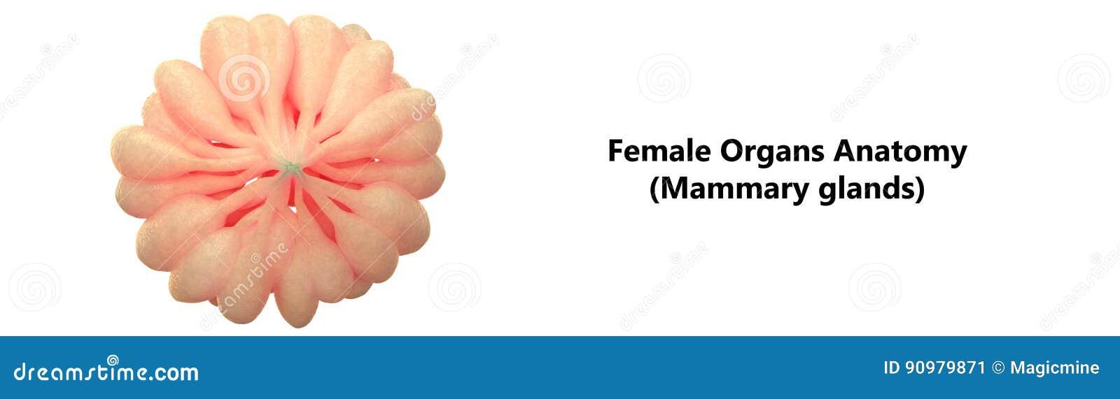 Ungewhnlich Mammary Glands Anatomy Galerie Menschliche Anatomie