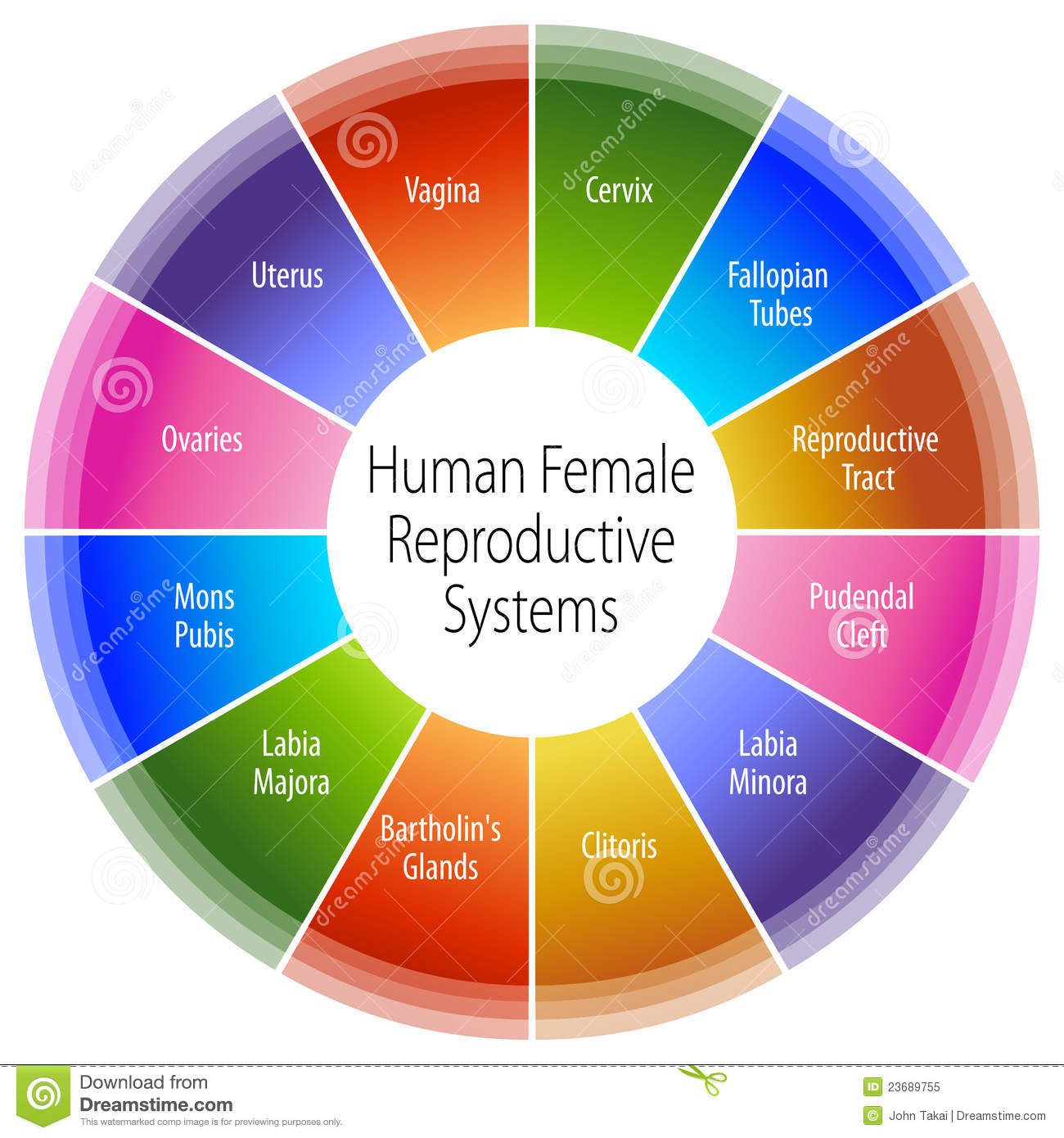 More similar stock images of ` Human Female Reproductive Systems Chart ...