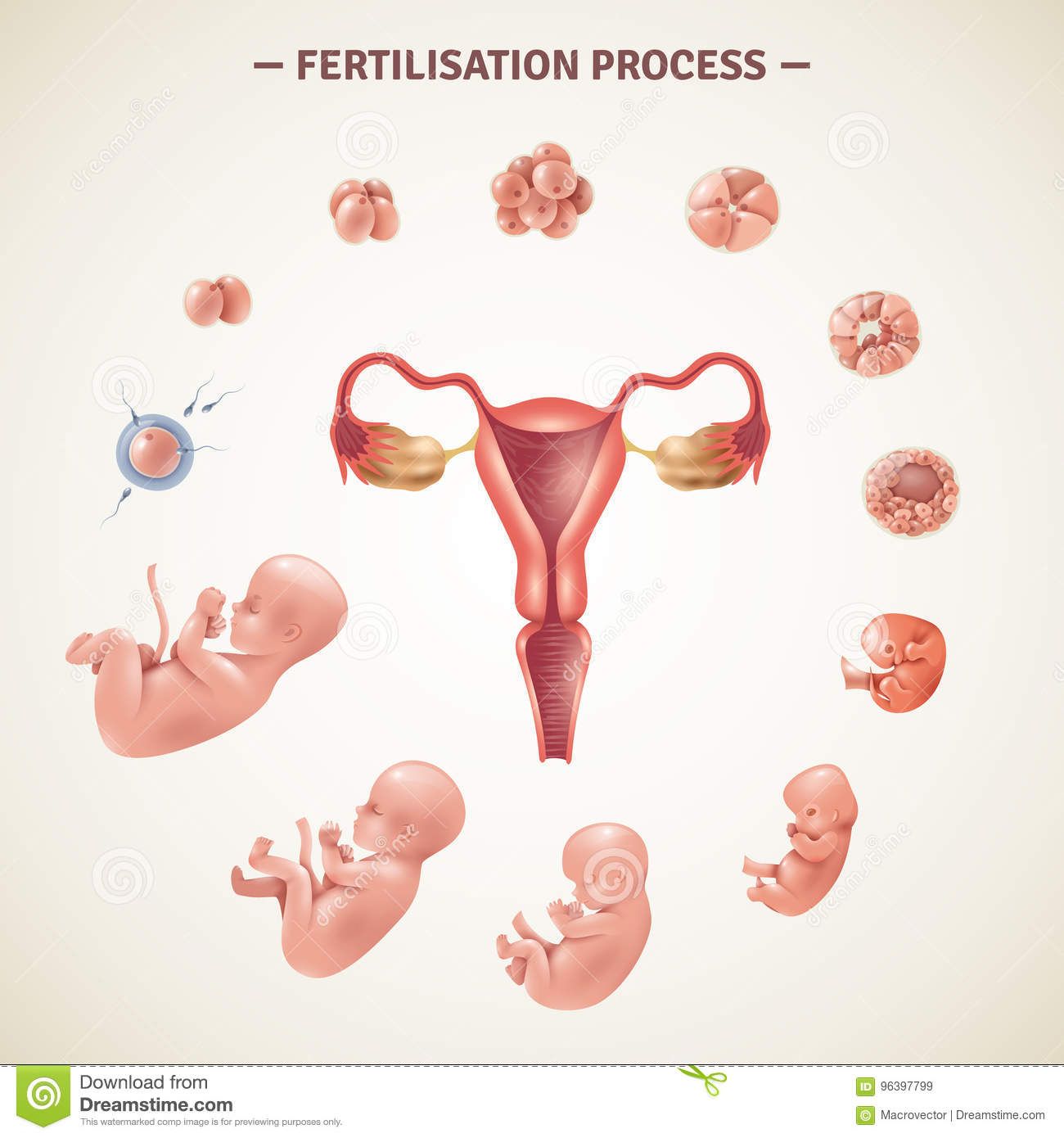 the human fertilization process and the period of development of the embryo This is the main difference between embryo foetus to fertilization, the embryo which is formed a human during fetal period, the development of.