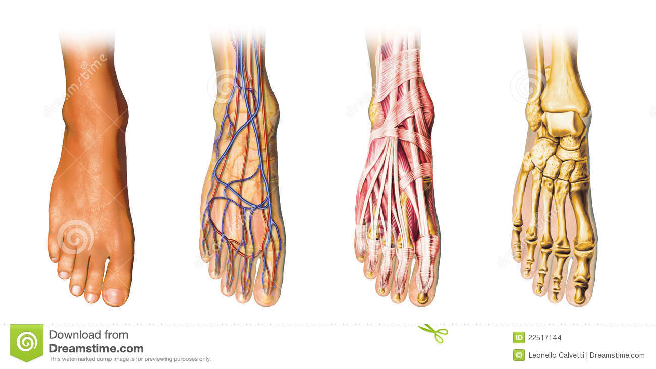 Human Foot Anatomy Cutaway Representation Stock Illustration