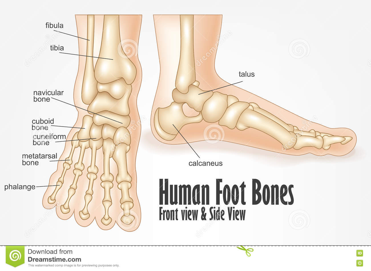 Human Foot Bones Front And Side View Anatomy Stock Vector ...