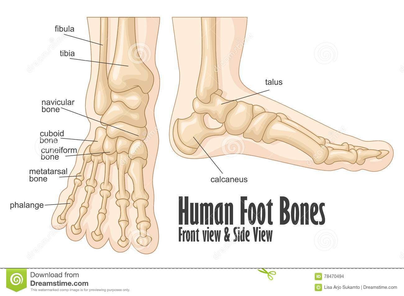 Human Foot Bones Front And Side View Anatomy Stock Vector