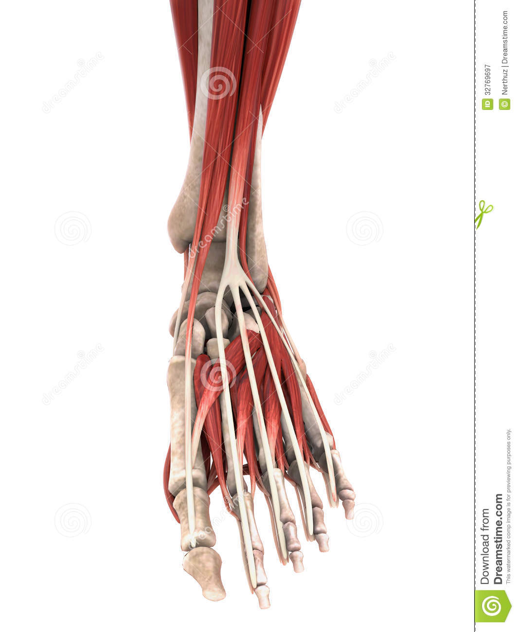 Human Foot Muscles Anatomy Stock Illustration Illustration Of