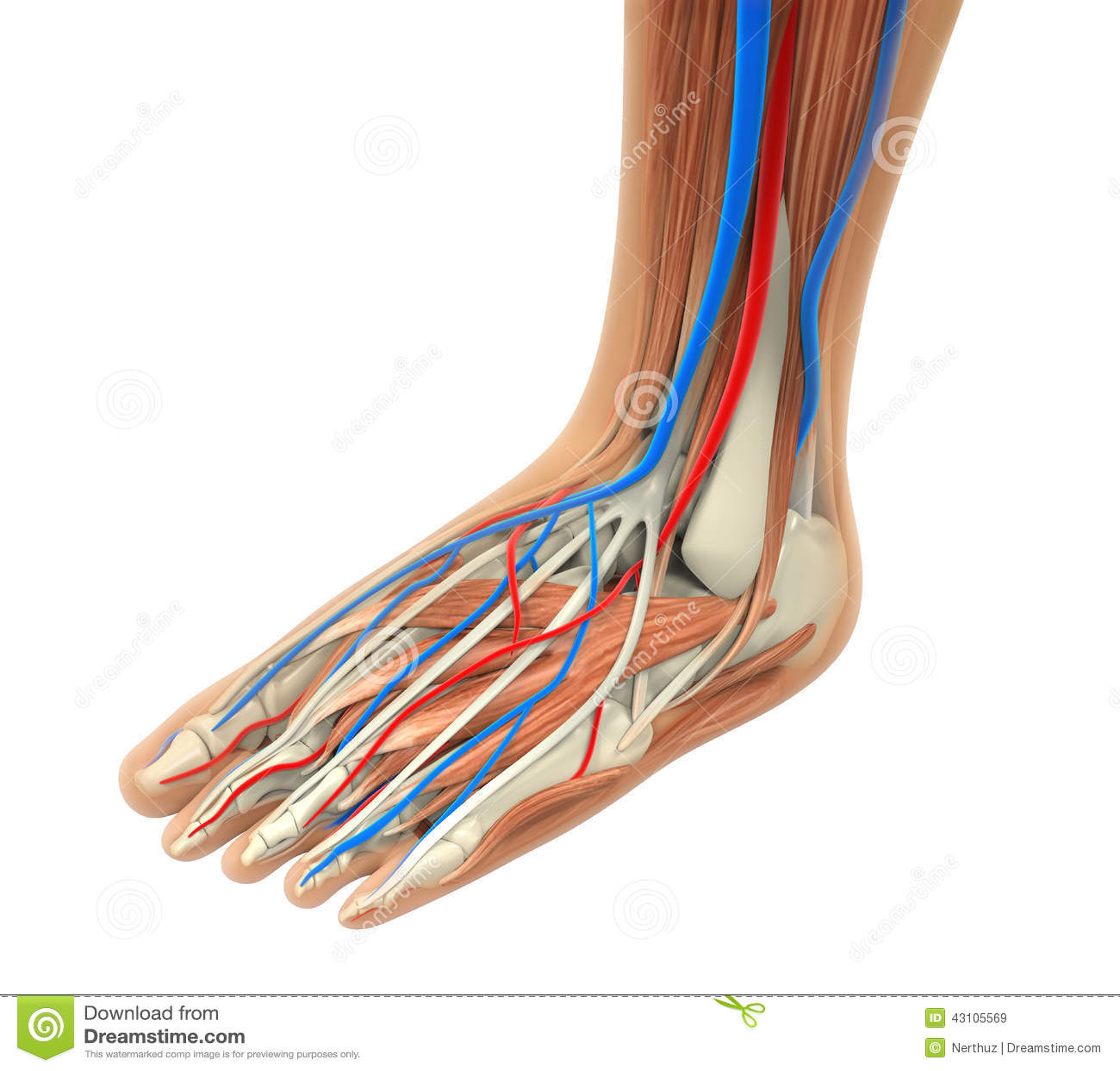 Human Foot Muscles Anatomy stock illustration. Illustration of ...