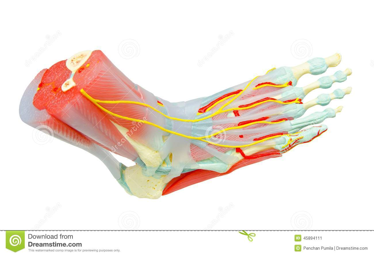 Human Foot Muscles Anatomy stock illustration. Illustration of ...