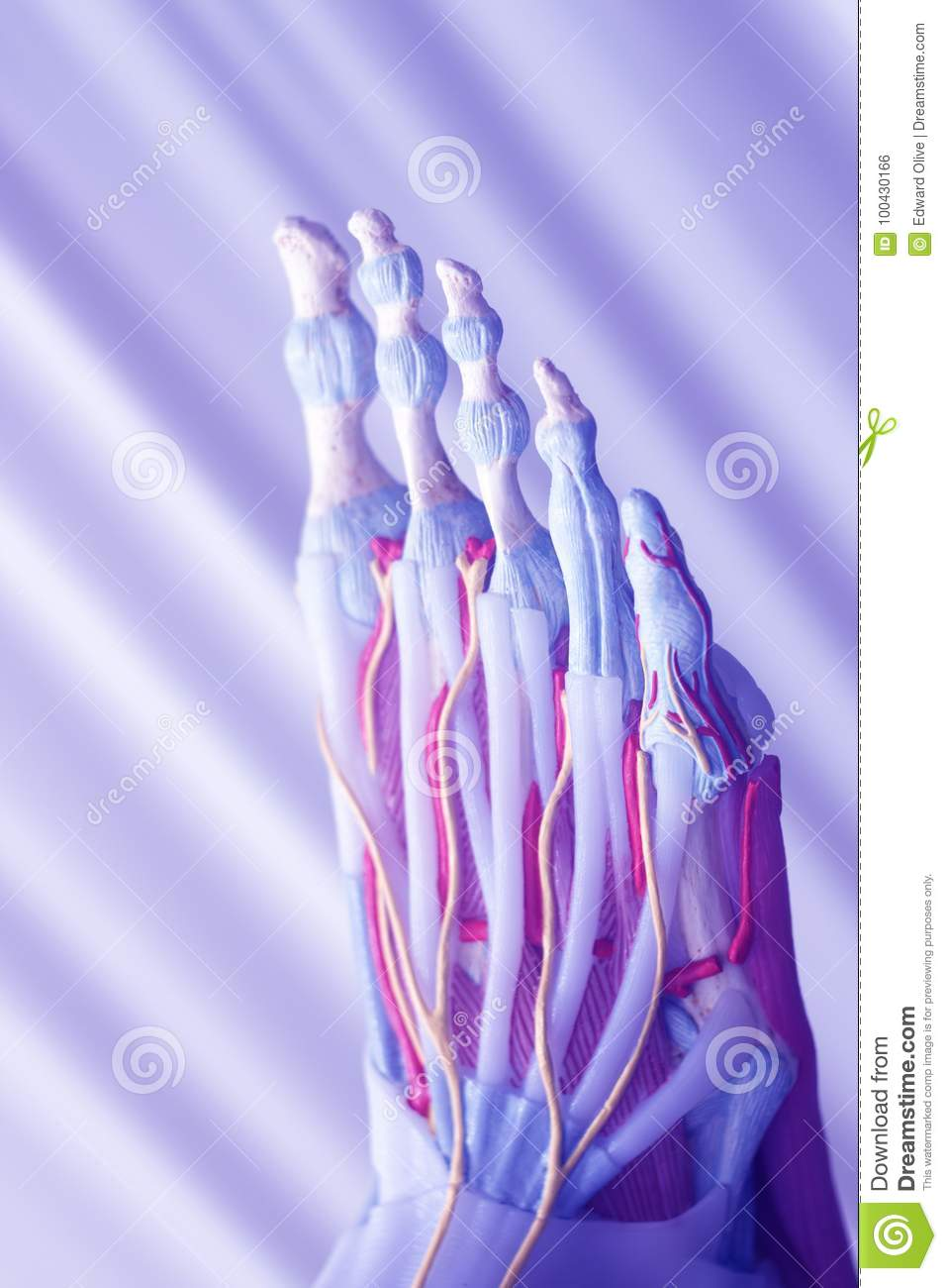 Human Foot Toes Model Stock Photo Image Of Interosseous 100430166