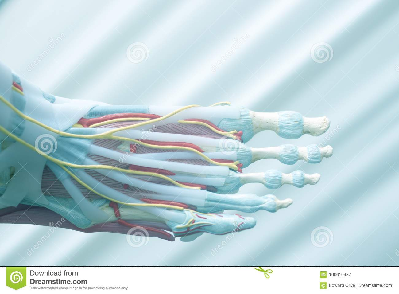 Human Foot Toes Model Stock Image Image Of Human Medicine 100610487