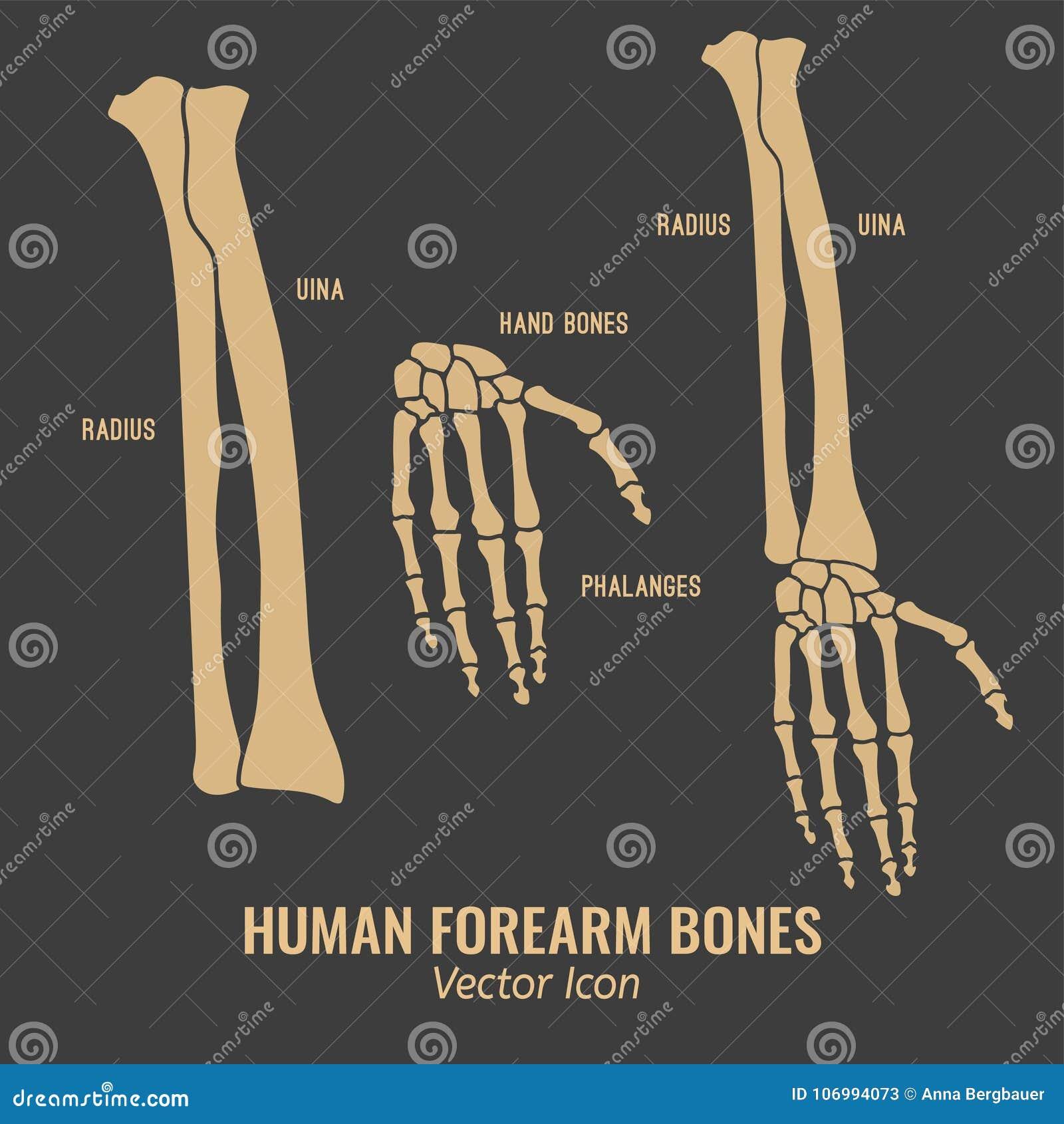 Human Forearm Bones Icons Stock Vector Illustration Of Healthcare