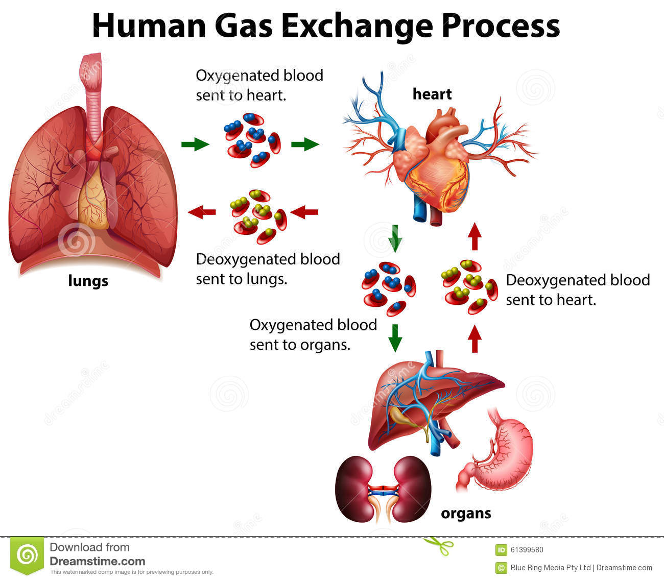 exchange of gasses The exchange of gases across the membranes of the capillary and the muscle is referred to as diffusion and is known as internal respiration the carbon-dioxide is then taken to the lungs via the heart in order to remove the carbon-dioxide and receive oxygen again (external respiration).