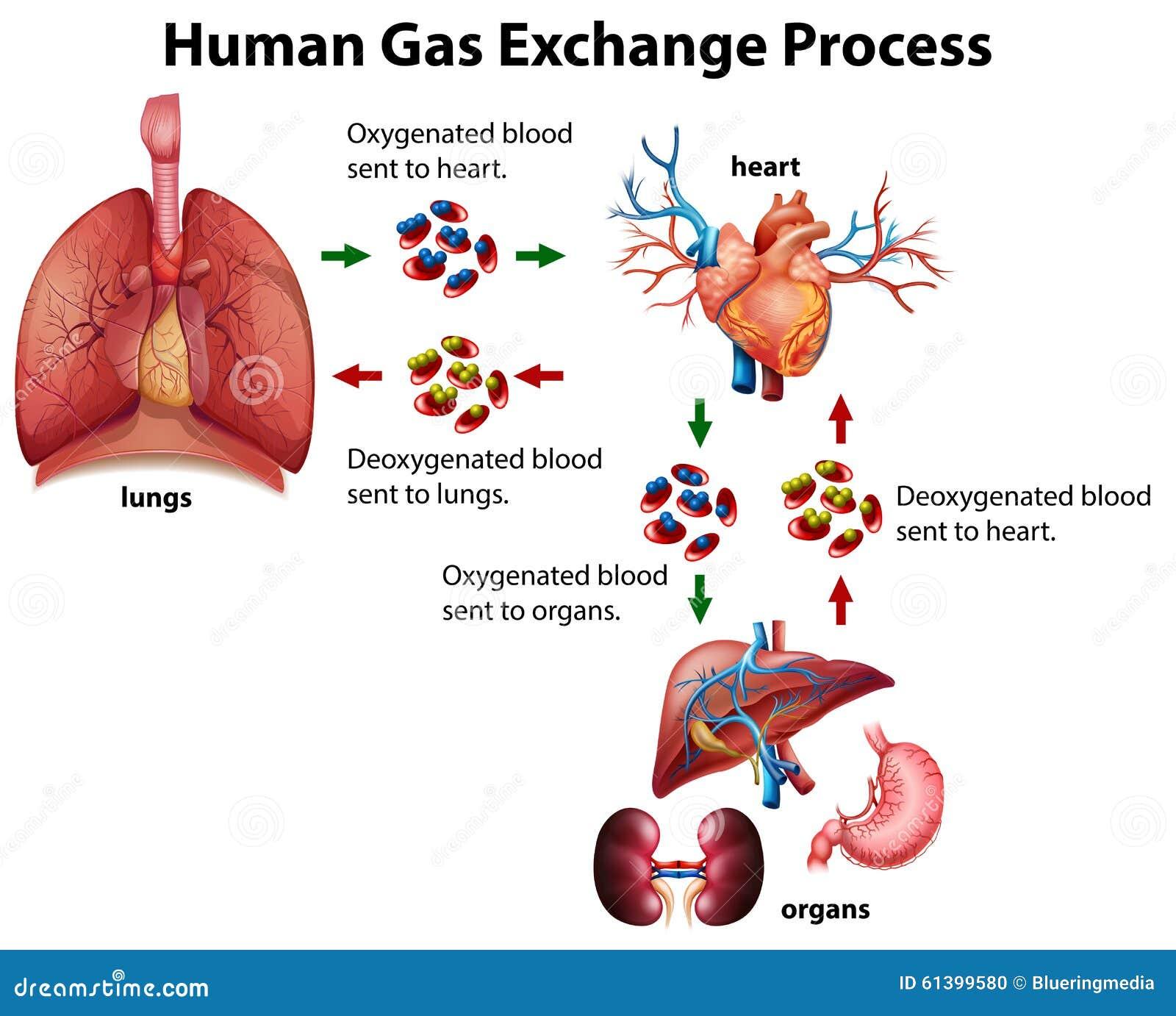 Human Gas Exchange System Vector Illustration  Oxygen