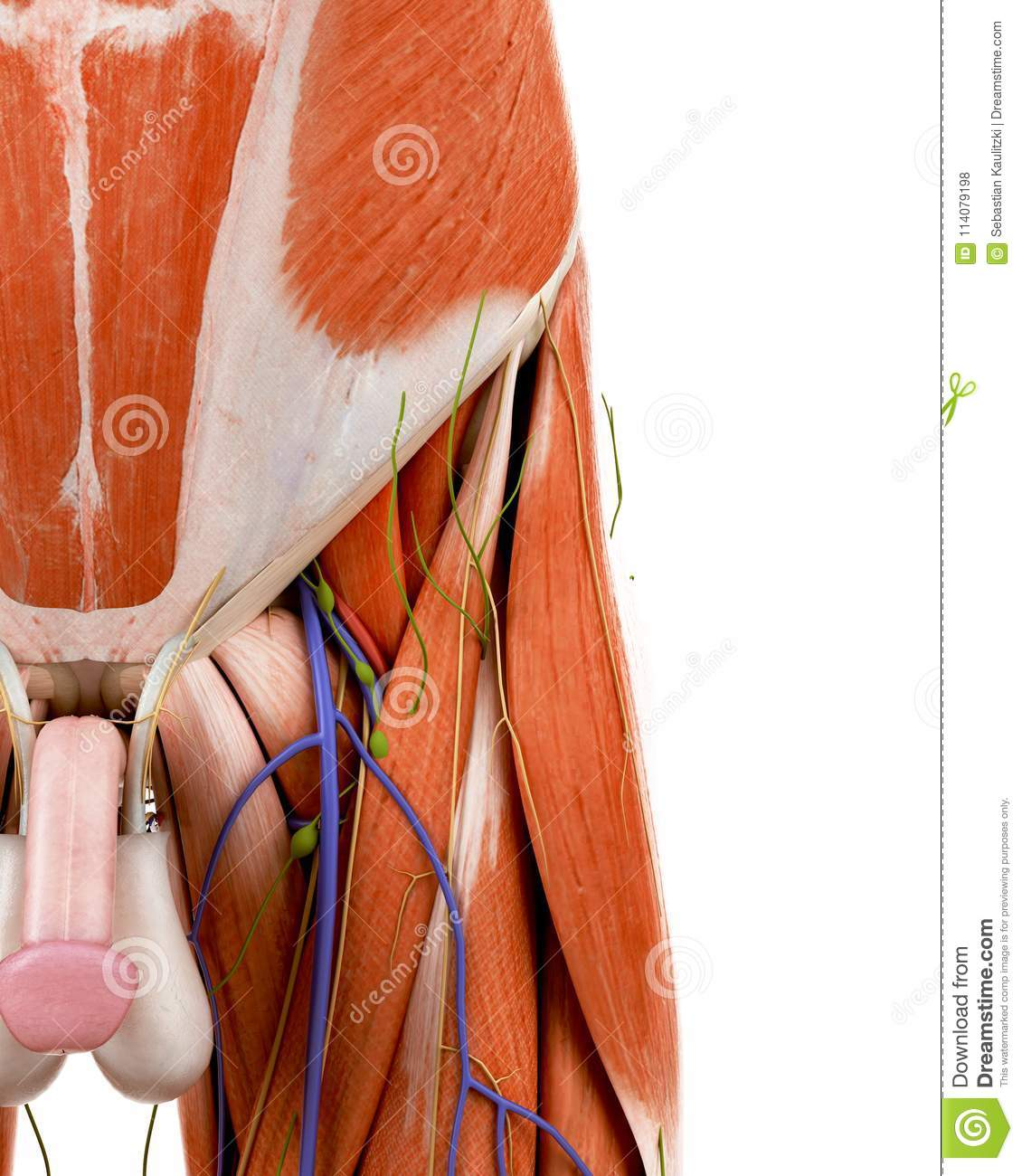 The Human Groin Anatomy Stock Illustration Illustration Of Penis
