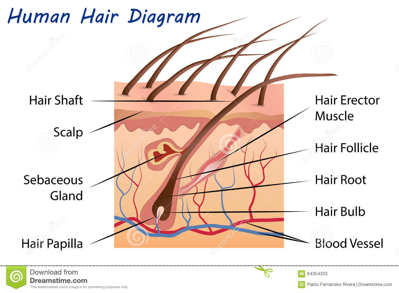 Human Hair Diagram Stock Illustrations 556 Human Hair Diagram