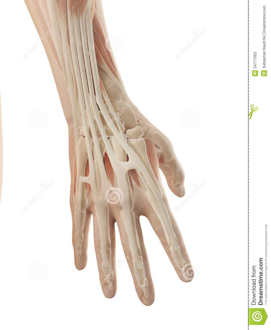 Human Hand Anatomy Stock Illustration Illustration Of Health 34777363