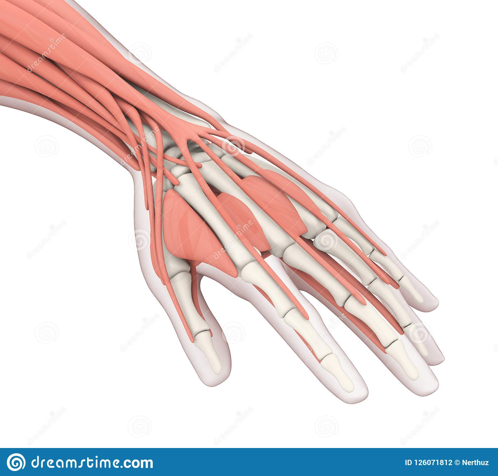 Human Hand Anatomy Illustration Stock Illustration Illustration Of